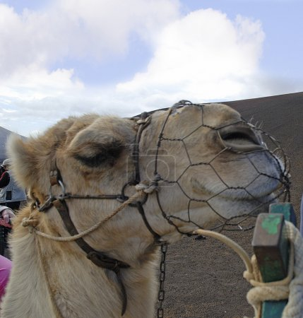 Camel Train on the Island of Lanzarote in the Canary Islands