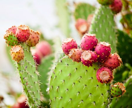 Photo for Prickly pear cactus close up with fruit in red color, cactus spines. - Royalty Free Image