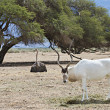 Постер, плакат: Curved horned antelope Addax Addax nasomaculatus is a wild native inhabitant of the Sahara desert