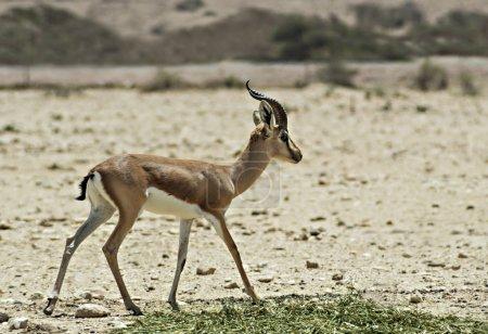 Dorcas gazelle in Israeli nature reserve near Eilat