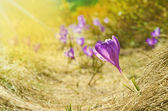 Beautiful landscape with crocus in spring sunny day