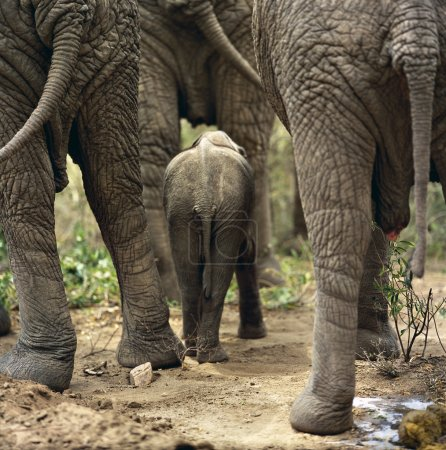 Photo for Elephants, herd, group, baby, ivory, savannah, field, bush, africa, tanzania - Royalty Free Image