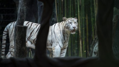Bengal tiger , Tiger and white tiger...