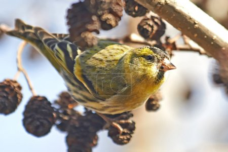 Photo for Eurasian Siskin resting on a branch in its habitat - Royalty Free Image