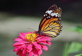 Butterfly (Common Tiger)